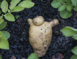 Seegrass: Dicke Kartoffeln dank Treibseln