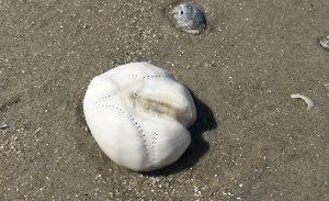 Strandfund: Hat der Seeigel sein Herz verloren?